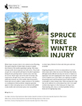 Spruce Tree Winter Injury cover